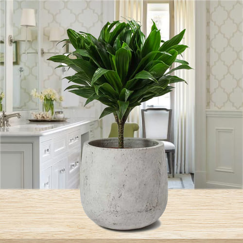 Shop for Dracaena Compacta Plant in Ceramic Pot
