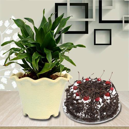 Online Black Forest Cake with Dracenea Compacta Plant in Plastic Pot