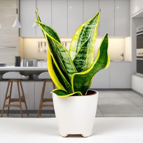 Send Snake Plant in a Ceramic Pot