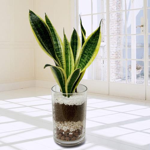 Online Snake Plant in Glass Pot