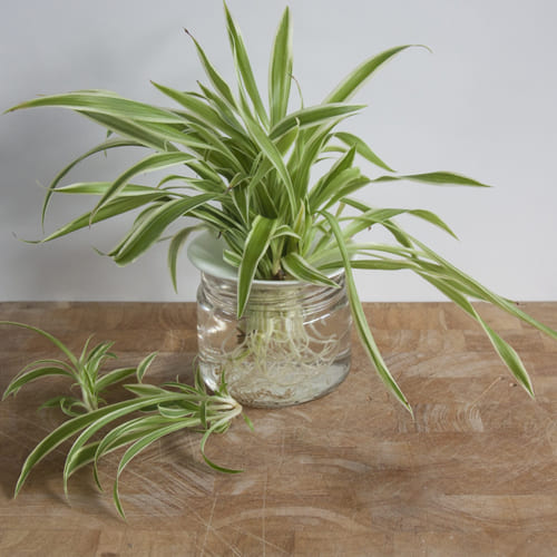 Delicate Spider Plant in a Glass Pot<br>