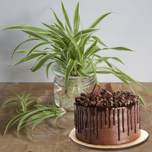Online Combo of Spider Plant in Glass Pot with Chocolate Cake