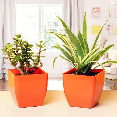 Order Jade Plant N Spider Plant in Plastic Pots