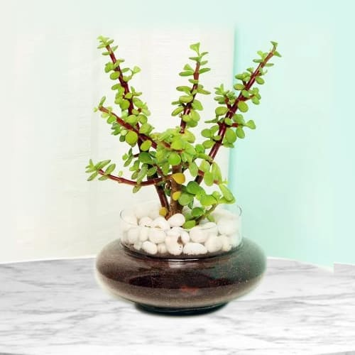 Shop for Jade Plant in Glass Pot