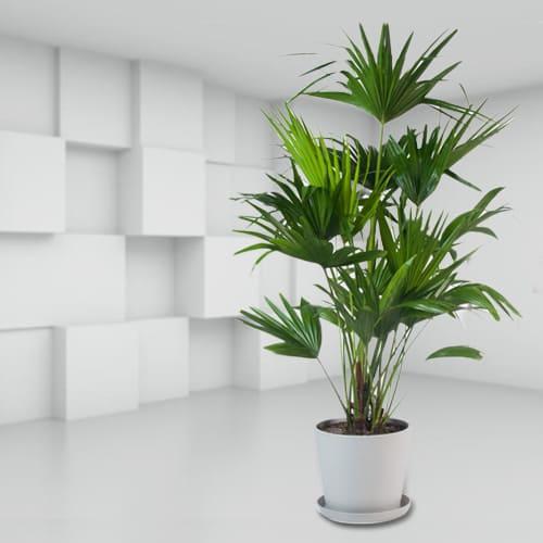 Evergreen China Palm in a Classy Ceramic Planter<br>