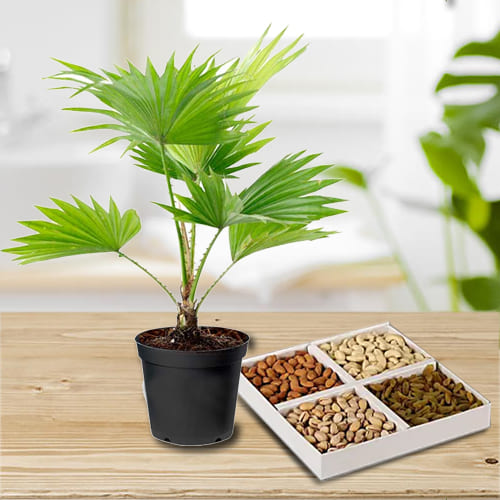 Buy China Palm in Plastic Planter with Dry Fruits Assortments