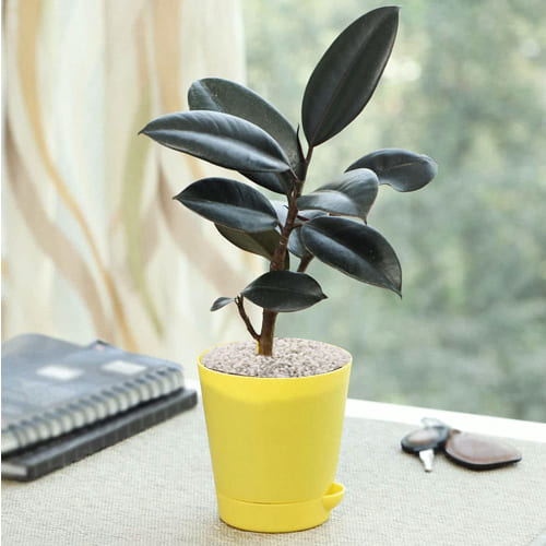 Buy Rubber Plant in Plastic Pot with White Chips