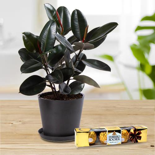 Shop for Rubber Plant in Plastic Pot with Ferrero Rocher