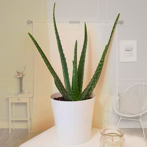 Go Green Aloe Vera Plant in an Attractive Plastic Pot
