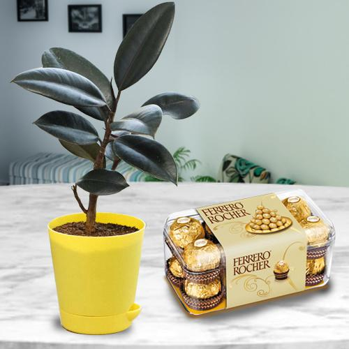 Beautiful Present of Black Rubber Plant with Chocolate