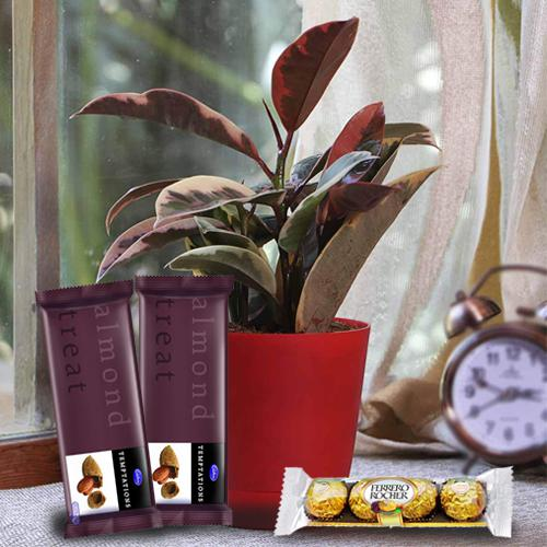 Evergreen Rubber Plant with Chocolate Assortment
