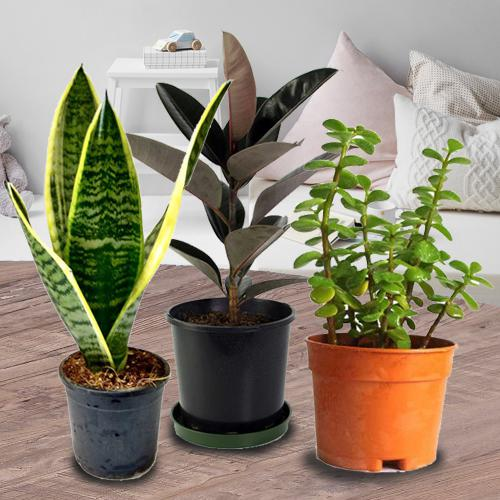 Fast-Growing Air Cleaning Plants Trio