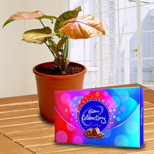 Elegant Dual Gift of Syngonium Planter with Chocolates