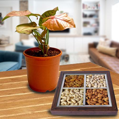 Divine Gift Combo of Air Purifying Plant N Dry Fruits