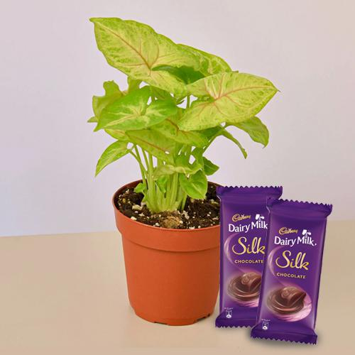 Bright Collection of Air Purifying Plant with Chocolates