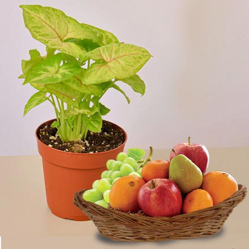 Fantastic Gift of Syngonium Plant with Fresh Fruit Basket