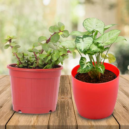 Attractive Gift Set of 2 Air Purifying Plants
