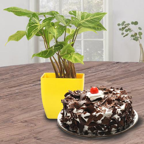 Attractive Gift of Black Forest Cake N Syngonium Plant