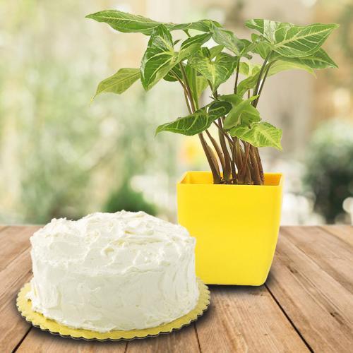 Exquisite Gift of Syngonium Plant in Plastic Pot N Cake