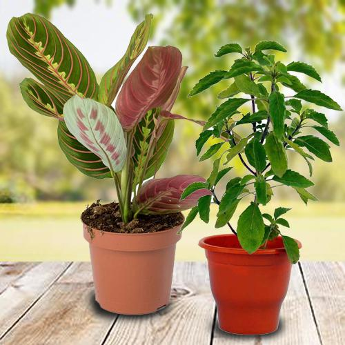 Go Green Combo of Good Luck Gift Plants