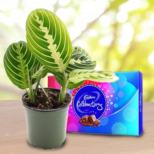 Fast-Growing Maranta Prayer Plant N Chocolate Gift Combo