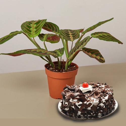 Fresh Air Purifying Maranta Prayer Plant N Black Forest Cake Gift Combo