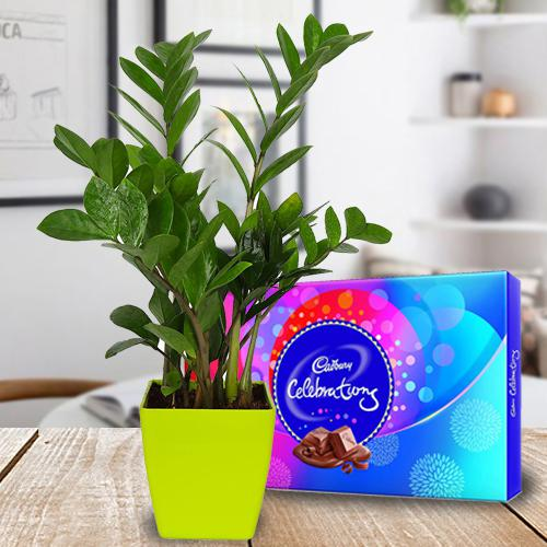 Delicate Combo of Air Purifying Zamia Plant with Chocolates