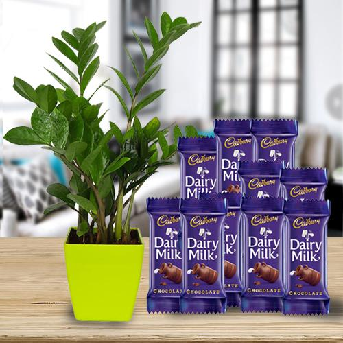Vibrant Gift of Zamia Air Purifier Plant with Chocolates