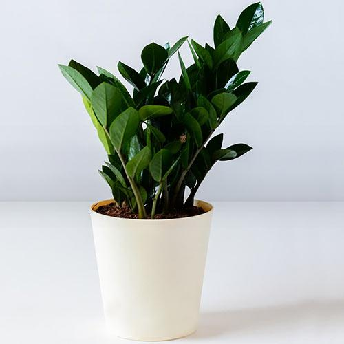 Blooming Gift of Zamia Houseplant in a Plastic Pot