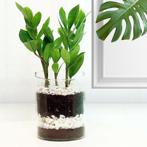 Enchanting Present of Zamia Indoor Plant in a Pot