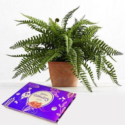Graceful Present of Indoor Bostern Fern Plant N Chocolate
