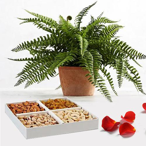 Charming Combo of Bostern Fern Live Plant with Dry Fruits