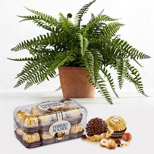 Impressive Gift of Ferrero Rocher Chocolate Box with Air Purifier Live Plant