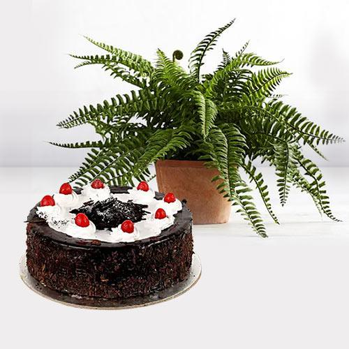 Ever-Blooming Bostern Fern Plant with Black Forest Cake