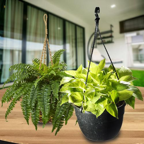 Blooming Dual Gift of Hanging Air Purifier Plant