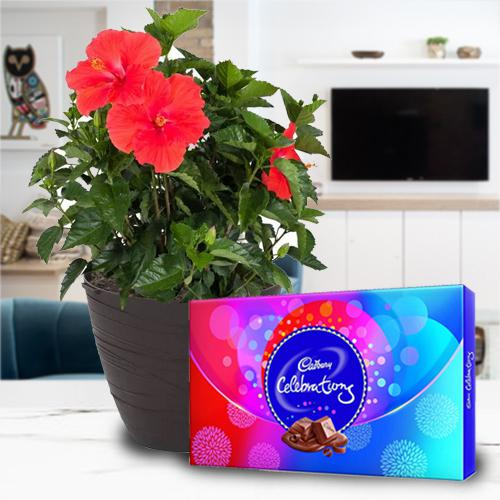 Festive Gift of Hibiscus Plant with Chocolate Assortment