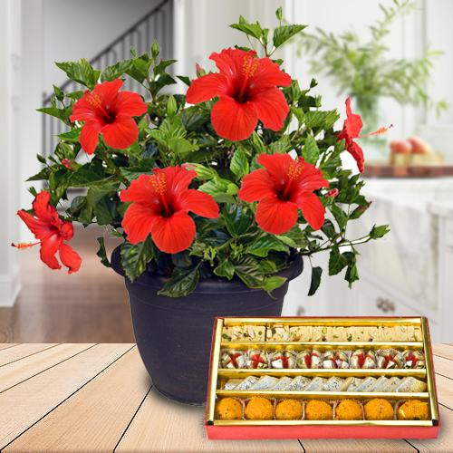 Eye-Catching Hibiscus Flowering Plant with Assorted Sweets