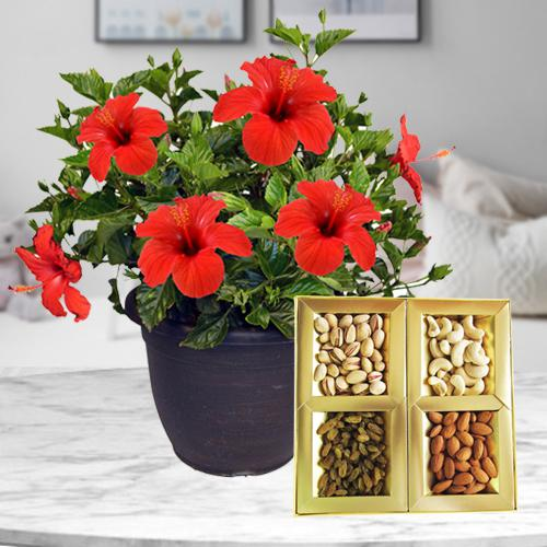 Aesthetic Combo of Hibiscus Plant with Dry Fruits