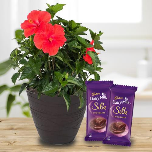 Fantastic Combo of Green Hibiscus Plant with Chocolates
