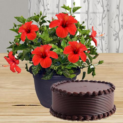 Charming Gift of Tropical Hibiscus Plant with Chocolate Cake