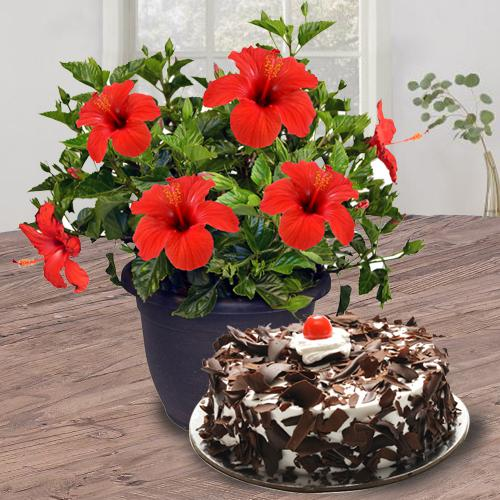 Fast-Growing Hibiscus Flower Plant with Black Forest Cake