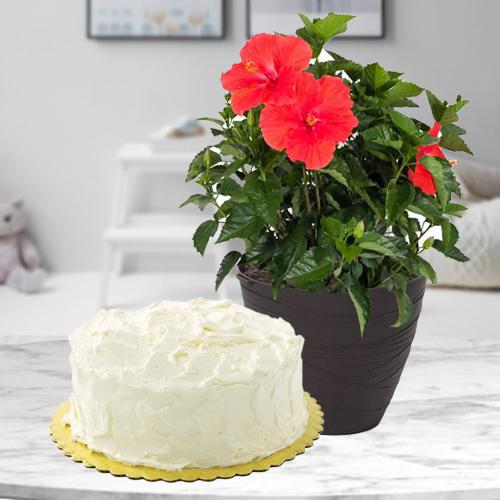 Beautiful Duo of Hibiscus Flowering Plant with Cake